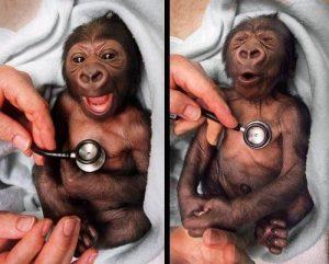 newborn gorilla heartbeat